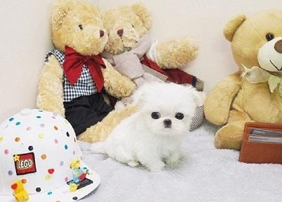 Regalo lindo bichon maltes cachorros mini toy