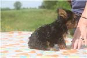Regalo Excelente Cachorros yorkshire para su adopcion libre