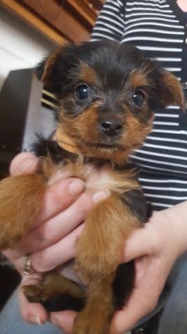 Regalo mini juguete Yorkshire cachorros