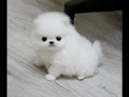 blanco cachorro de Pomerania e