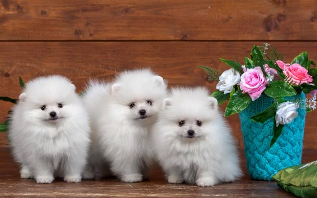 cachorros de raza pomerania blanco