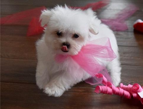 Regal bichon malteso lindo toy cachorros