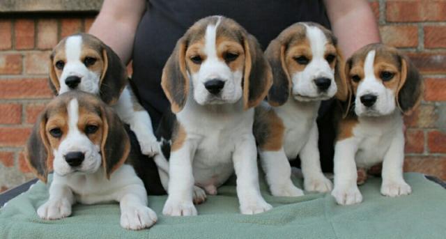 Regalo cachorros de Beagle para volver a casa