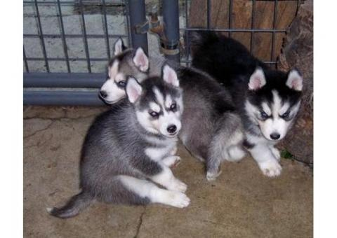 Cachorros Husky siberiano hombre y mujer