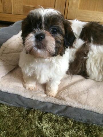 Shih-tzu Puppies en venta