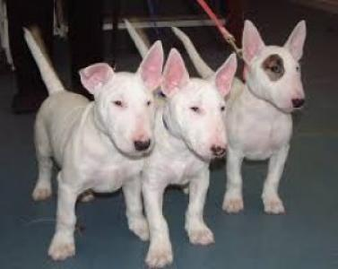 Cachorros Bull Terrier hombre y mujer