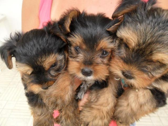 Cachorros Yorkshire Terrier Mini Toy