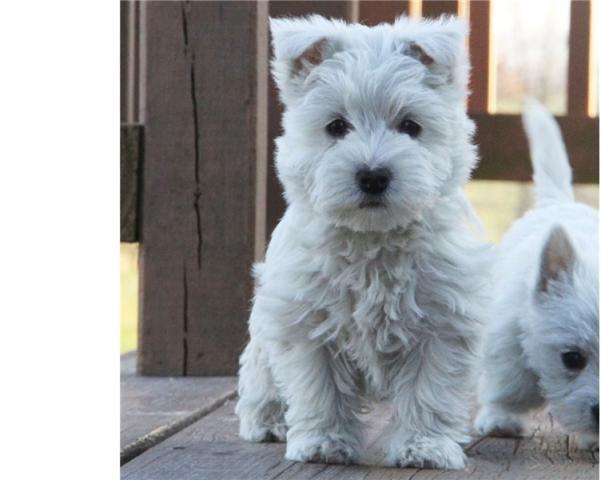 Regalo macho y hembra Westy terrier cachorros
