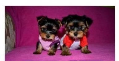 Regalo Registrado Yorkshire Cachorros Para Re-Homing