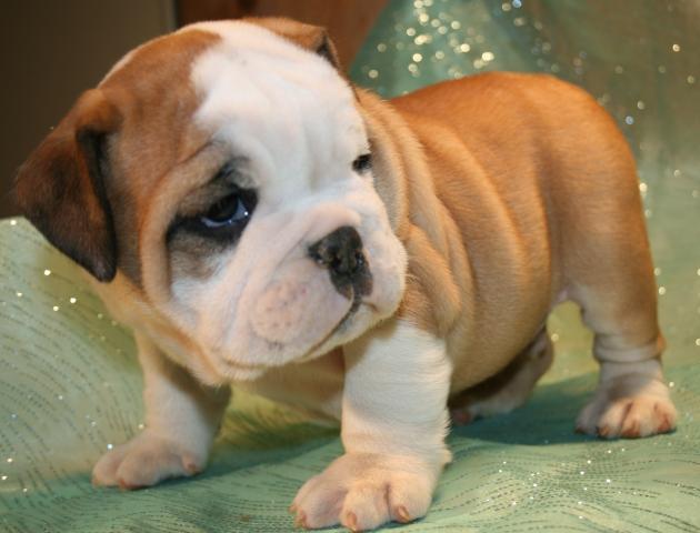 Impresionate Cachorros Bulldog Ingles