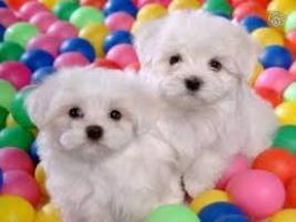 preciosos cachorros bichon maltes para su familia en adopción ...