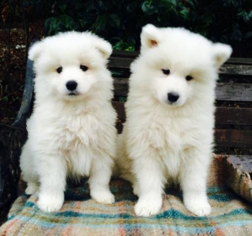 Regalo cachorros Samoyedo macho y hembra