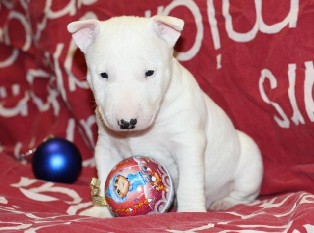 Regalo adorable bull terrier toy cachorros