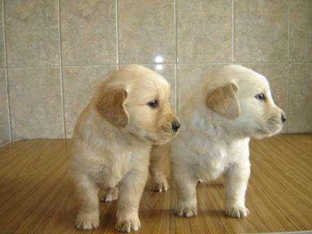 Regalo magnificos Golden retriever cachorros