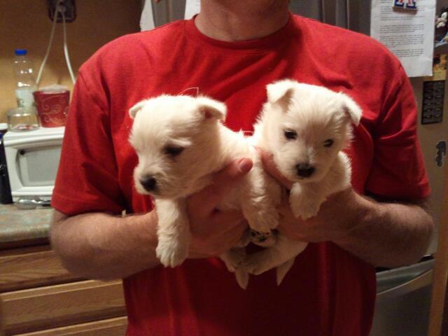 Regalo cachorros westy en adopción