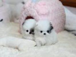 Regalo pomeranian cachorros mini toys para adopcion