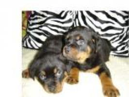 Regalo Rottweiler cachorros