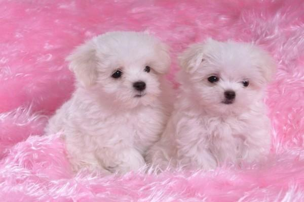 Regalo Mini Toy Cachorros Bichon Maltes para su adopcion libre