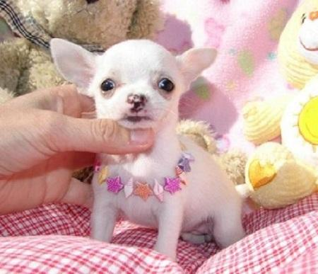 Regalo cachorros chihuahua macho y hembra toy para adopcion