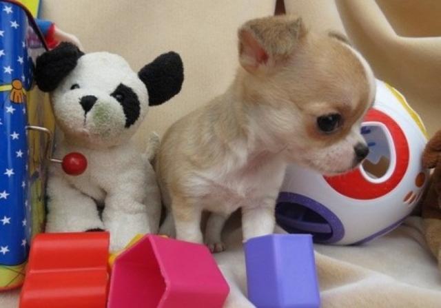 Regalo Taza de té de Chihuahua Mini Toy Para Su Adopcion