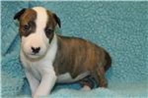 Regalo Economicos Cachorros Bull Terrier