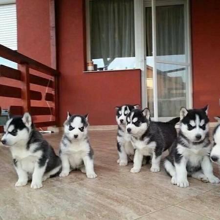 Regalo Husky Siberiano Cachorros Para Su Adopcion