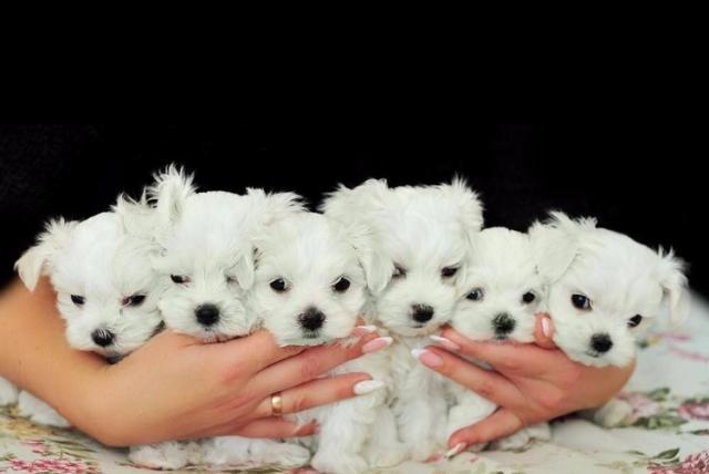 Regalo:Adorable Bichon Maltés Mini Toy Cachorros Para Su Adopción