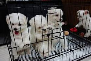 Regalo:Adorable Bichon Maltés Mini Toy Cachorros Para Su Adopción