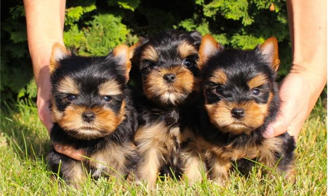 Regalo Cachorros Yorkshire Mini Toy Para Su Adopcion