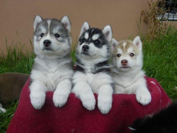 Regalo Husky Siberiano Cachorros Macho y Hembra Para Adopción