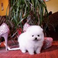 magnífico cachorro de pomerania para adopción