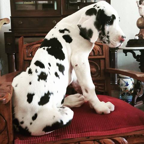 Regalo cachorros gran danes