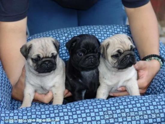 Regalo Cachorros Carlino Pug Macho y Hembra Para Su Adopción