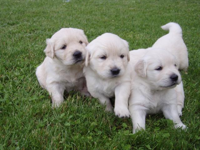 Regalo cachorros golden retriver