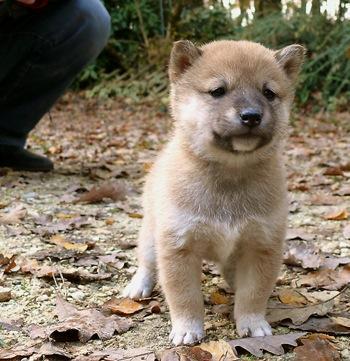 Regalo gratis shiba inu cachorros para adopcion