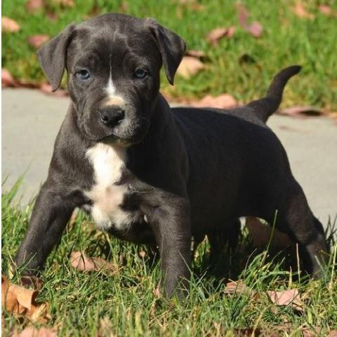 Regalo urgente Adorable Pitbull cachorros para su adopción