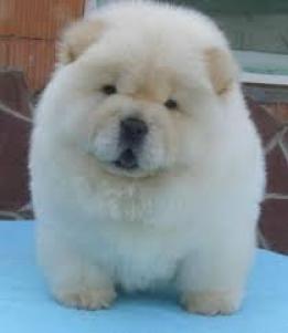 Regalo Cachorros Chow Chow