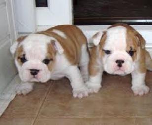 Regalo cachorros bulldog ingles