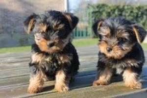 regolo cachorros Yorkshire