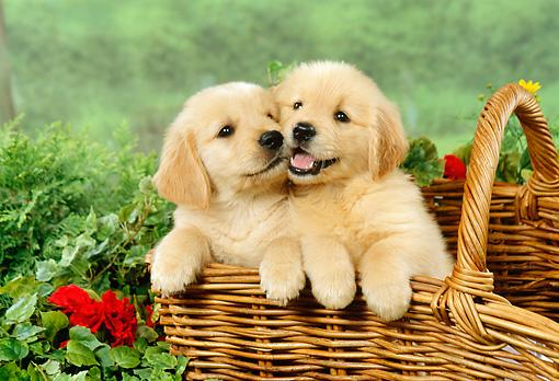 Regalo Impresionate Cachorros Golden Retriever para su adopcion l