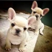 Cachorros de bulldog francés macho y hembra para adopción.