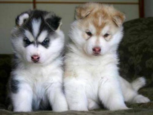 Ofertas husky siberiano