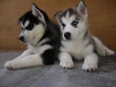 Regalo cachorros de Husky Siberiano para volver a casa