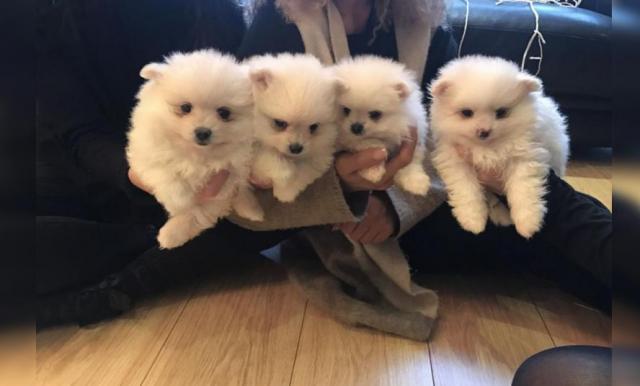 Regalo Cachorros Pomeranian Mini Toy Para Su Adopcion