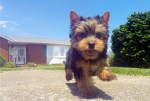 Regalo yorkshire terrier cachorros minis