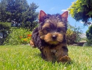 Regalo yorkshire terrier cachorros minis