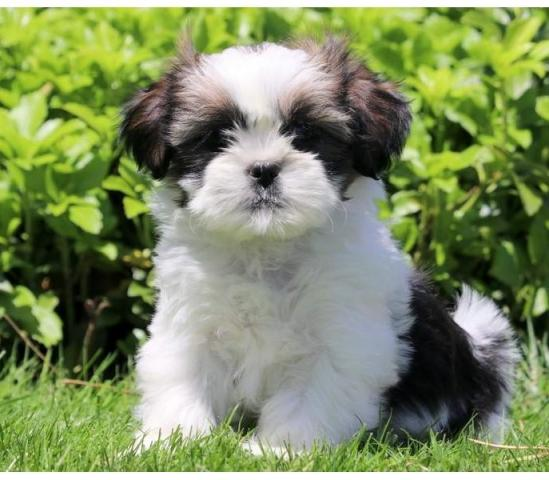 Regalo cachorros Shih Tzu a un nuevo hogar