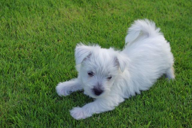 Regalo Cachorros west highland terrier