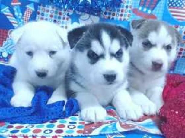 Regalo de cachorros de husky siberiano para adopción 1