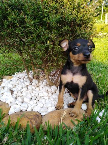 Cachorros de pincher mini